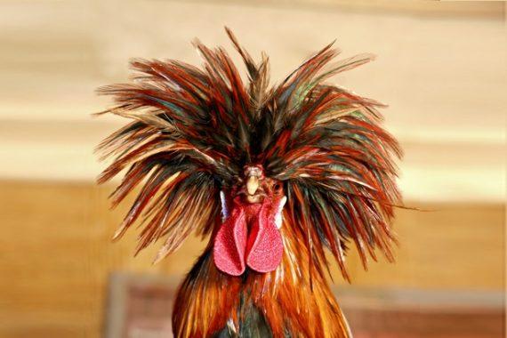 Un poulet décadent