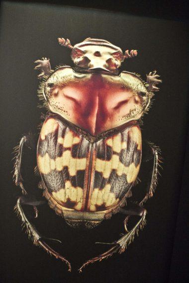 coléoptères, insectes